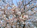 0420桜.jpg